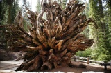 Tree root in Mariposa Grove