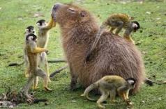 behold - the noble capybara.