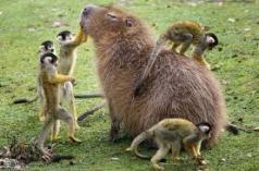behold - the noble capybara.